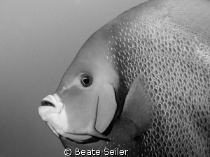 Angelfish in B/W by Beate Seiler 